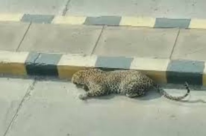 Leopard spotted in Hyderabad road